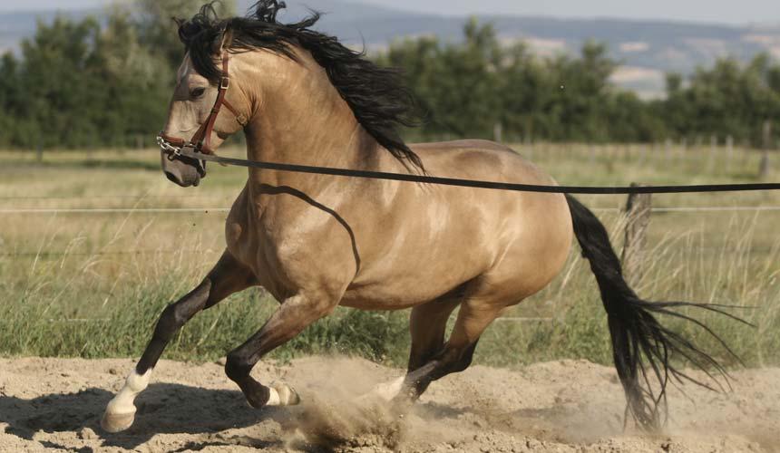 cheval espagnol lusitanien
